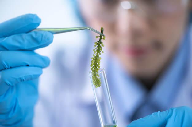 Spirulina Superfood für das Immunsystem. Wissenschaftler entwickeln Forschungen über Spirulina Algen